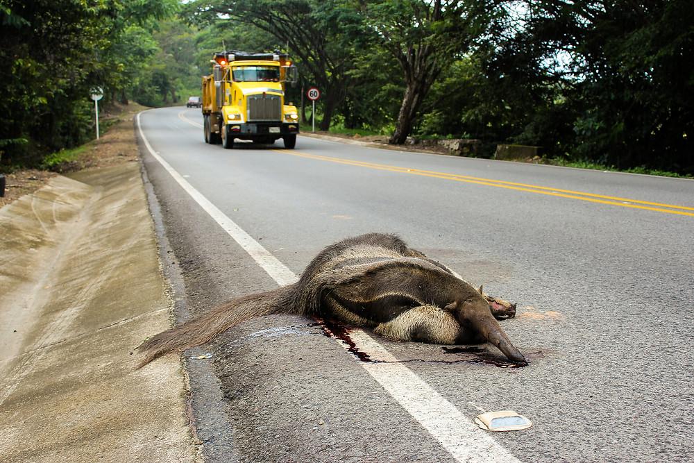 Oso palmero atropellado en vías del Casanare.