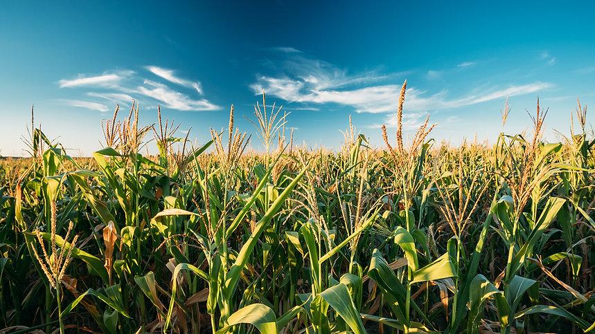 Campo maiz.jpg