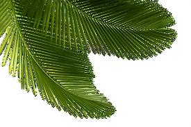 kisspng-arecaceae-asian-palmyra-palm-lea