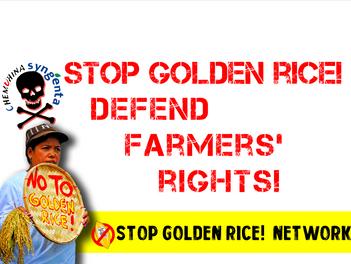 Golden rice is hazardous