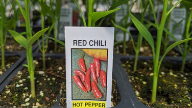 Pepper - Red Chili