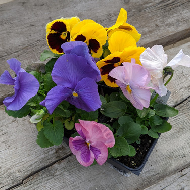Pansy - Assorted Colours