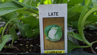 Cabbage - Late
