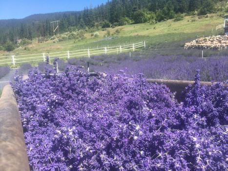 Lavender Field before Harvest