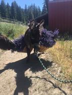 Animal help with harvesting Lavender