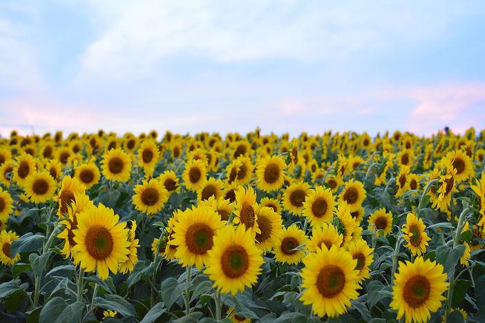 sunflowers-in-a-field-BQGERNS.jpg