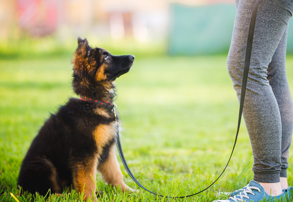 German shepherd puppy sitting and traini