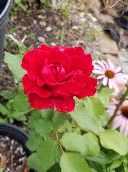Single Stem Garden Rose