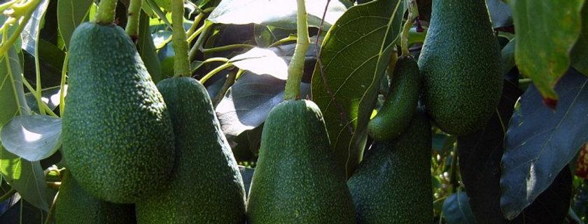 Avocado kg. 1