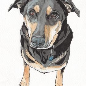 Kato the German Shepherd