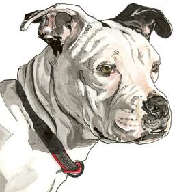 Dougal the English Bulldog