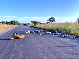 Pride of lions sleep in the road during COVID-19 lockdown in South Africa