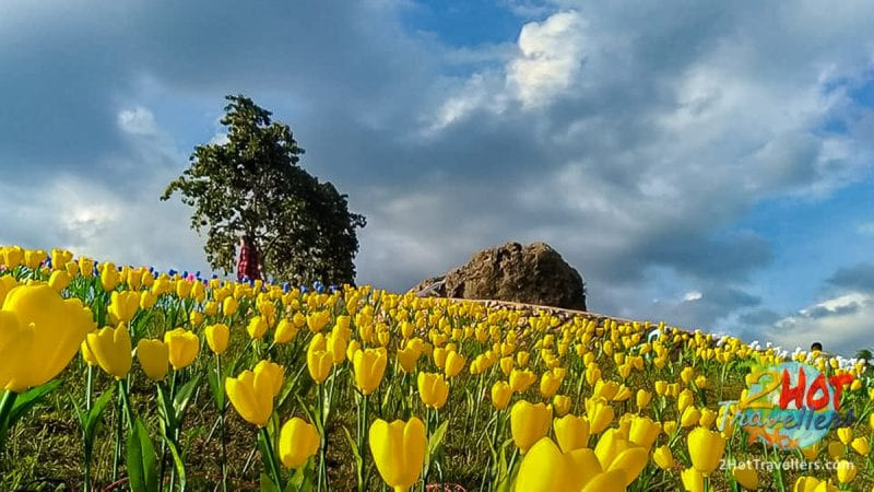 tulips attraction in abra4
