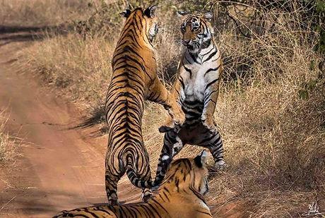 030 Ranthambore Tigers.jpg