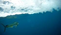 Underwater Dorado