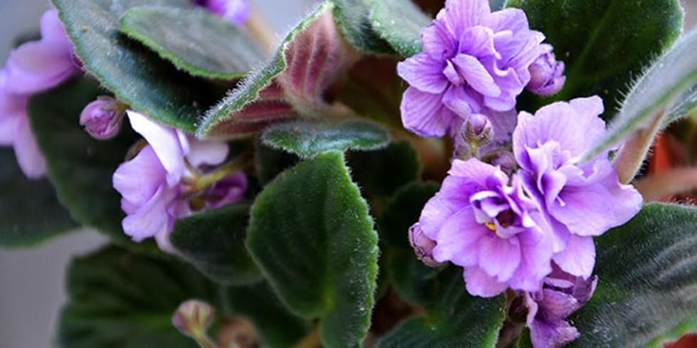 African Violet Program