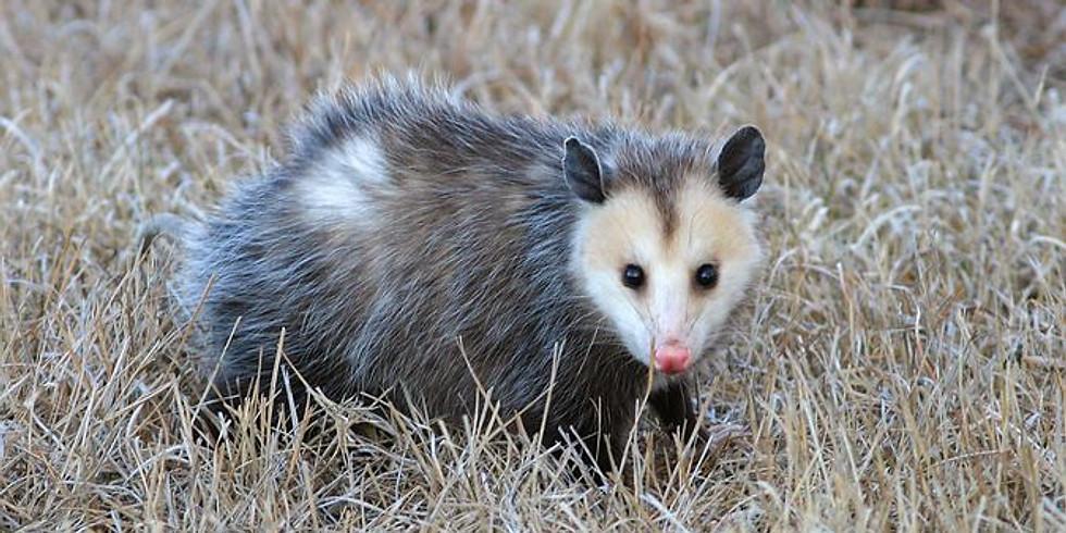 Opossum Story Time