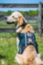 Sawyer new vest K-9 Inn victim services.