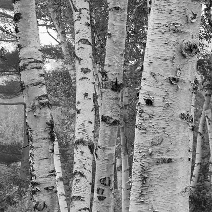 Birch Trees 2 (made to order)