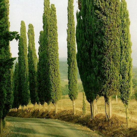 Tuscan Trees (made to order)