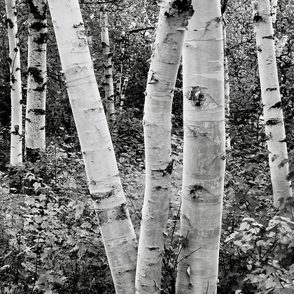 Birch forest 1 (made to order)
