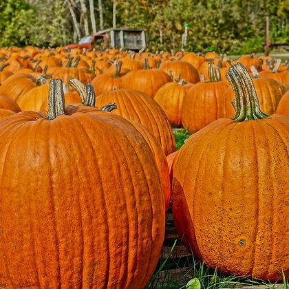 Pumpkins 1 (Made to order)