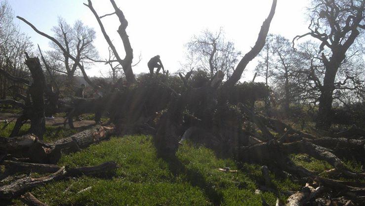 Large fallen oak