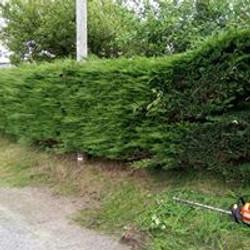 Hedge Cutting cypress