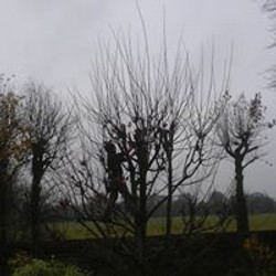 Pollarding small tree's