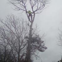 climber in large beech Hope Estate