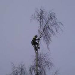 silver birch silky removal over telepohne wire