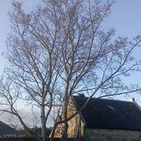 Large sycamore over Dornoch Distiliery
