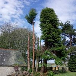 Cypress Trees felling in lairg Ann Villa