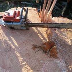 140ft Douglas fir stump and cut