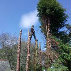 felling out tops At Ann Villa Lairg