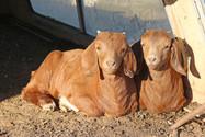Bryant Farms Boer kids IMG_2239.jpg