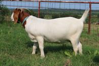 Bryant Farms Boer goat doe