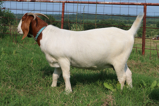 Bryant Farms Boer goat doe