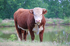 Bryant Farms Hereford bull for sale.jpg