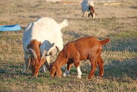 Bryant Farms Boer goat doe and kidIMG_2331.jpg