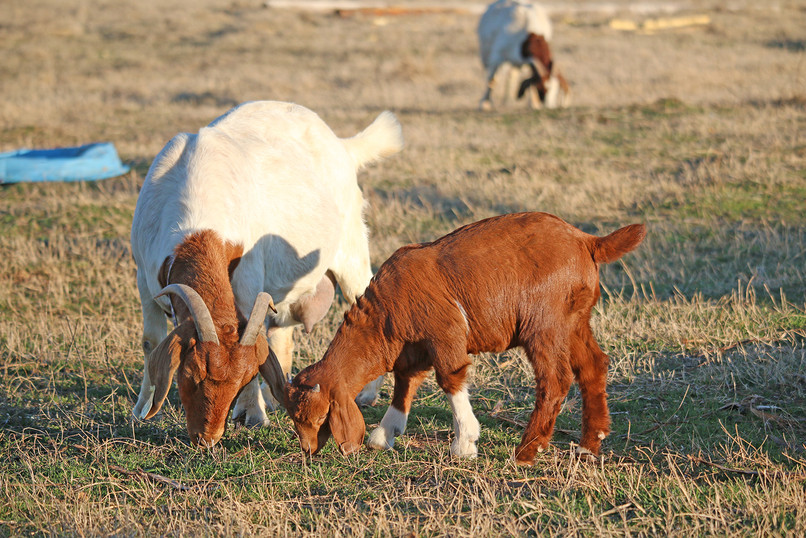 Bryant Farms Boer goat doe and kidIMG_2331.jpg