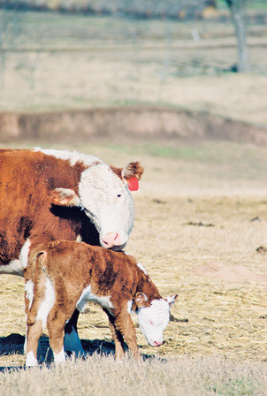 Bryant Farms cow-calf pair.jpg