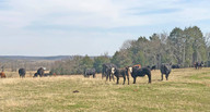Bryant Farms commercial herd