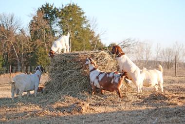 Bryant Farms Boer goat does IMG_2334.jpg