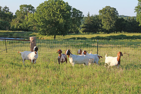 Bryant Farms Boer goat does IMG_1202.jpg