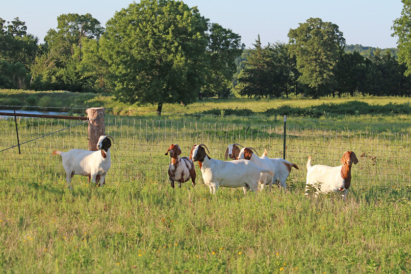 Bryant Farms Boer goat does IMG_1202.jpg