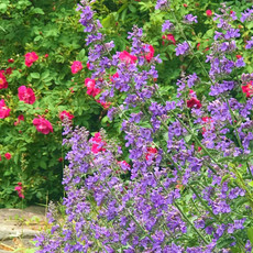 catmint and roses