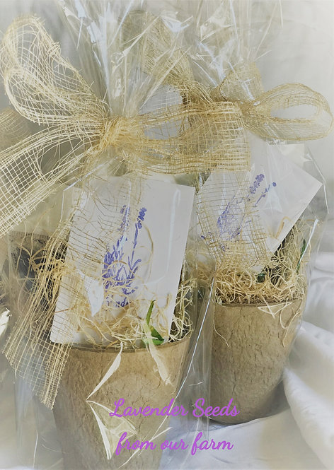 English Lavender seeds with soil & pot