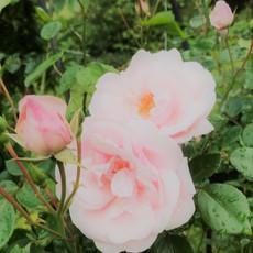 light pink garden roses
