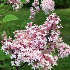 light pink lilacs